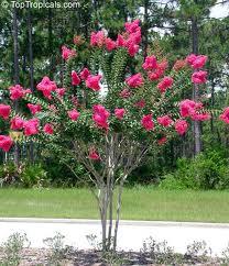 Crepe Myrtle Tree